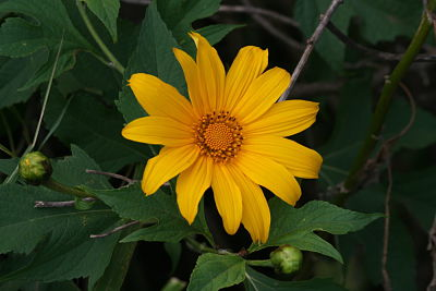 Weeds of The Blackall Range – Japanese Sunflower