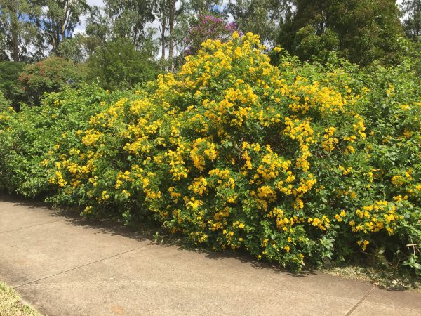 Weeds of the Blackall Range – Part 2 – Easter Cassia