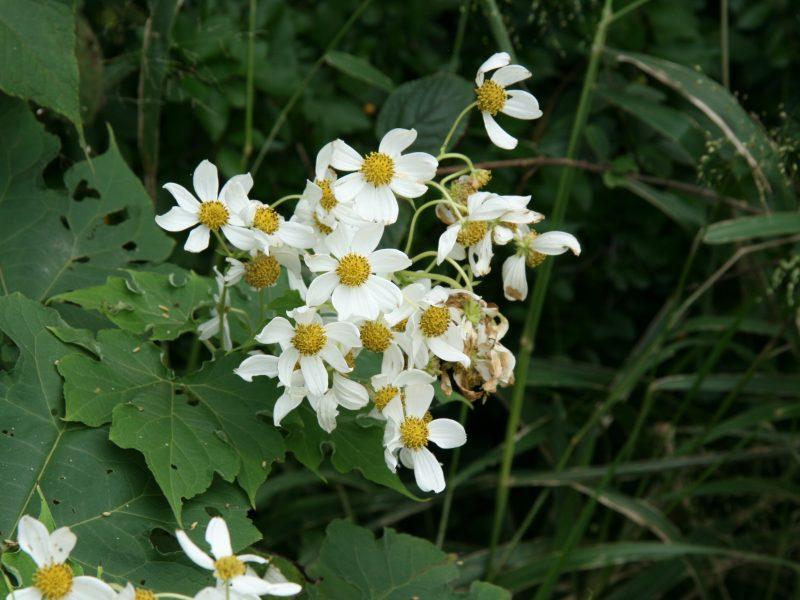 Weeds of the Blackall Range – No. 4